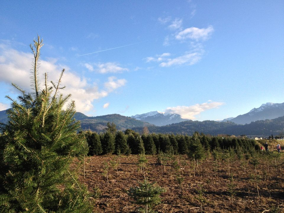 Is it good for the environment to buy a real Christmas tree?